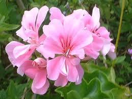 ピンクのゼラニウム