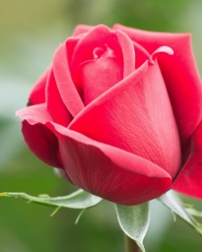 rose single