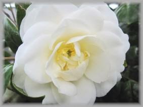 white-cameria-wailea