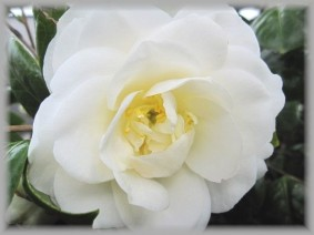 white-cameria-wailea-283x212